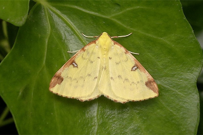 Brimstone Moth Opisthograptis luteolata. Image © Les Evans-Hill
