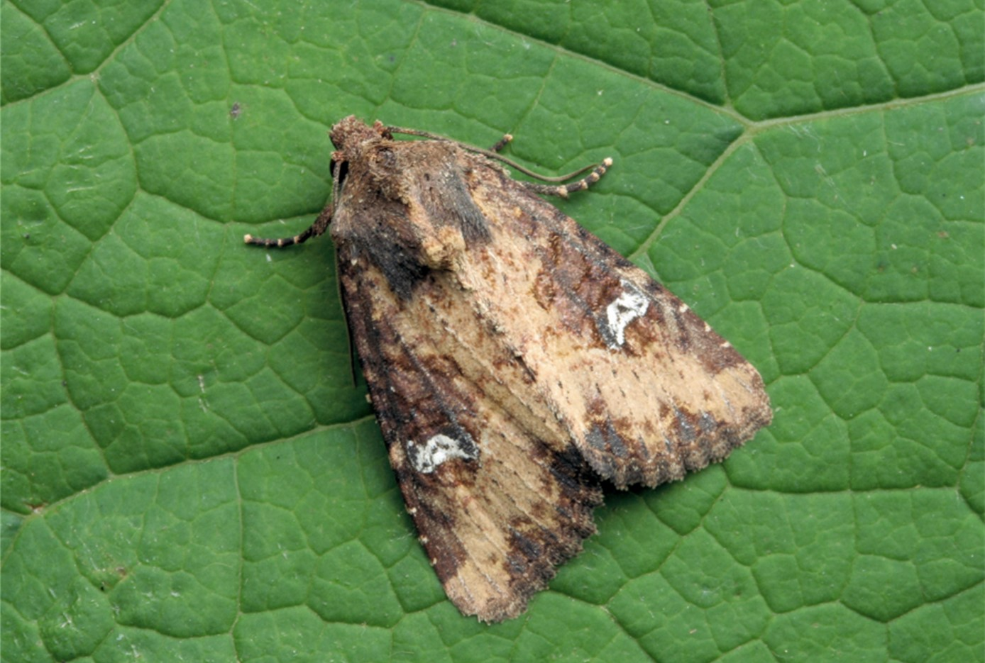 Common Rustic agg. Mesapemea secalis/didyma, David Green