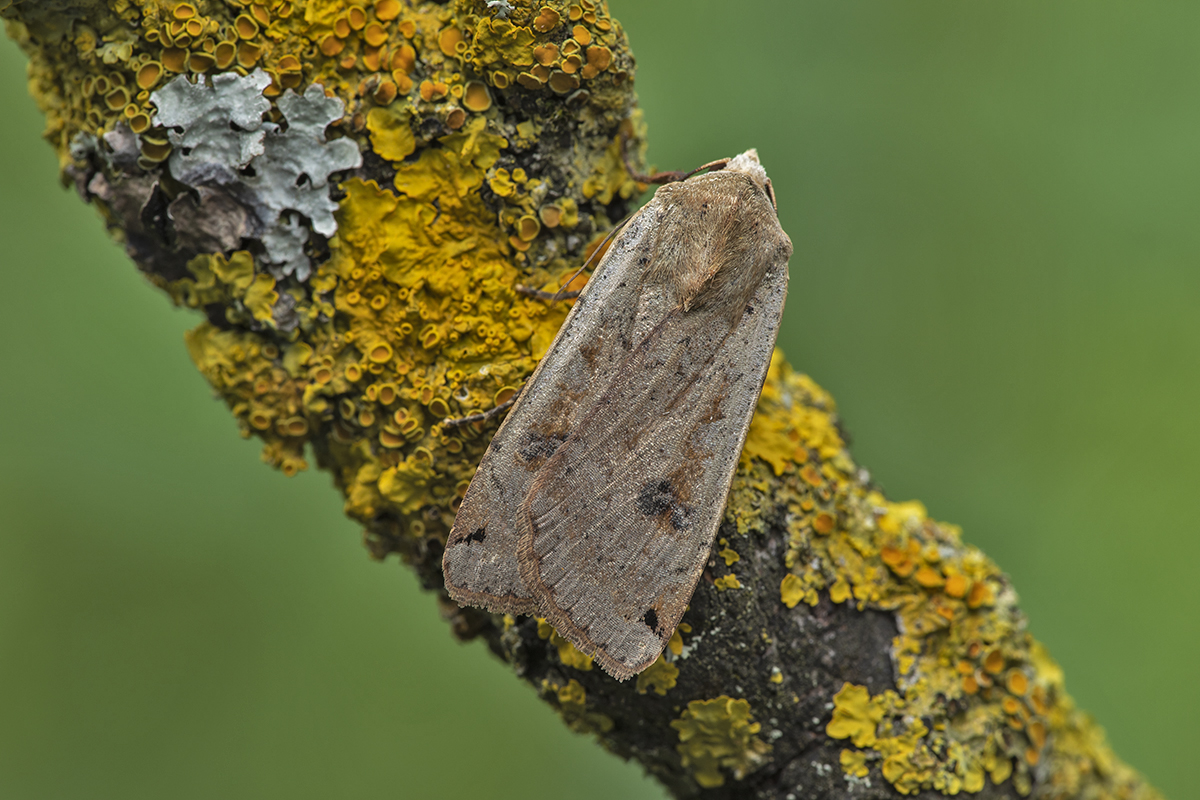 Large Yellow Underwing Noctua pronuba, Les Evans‐Hill