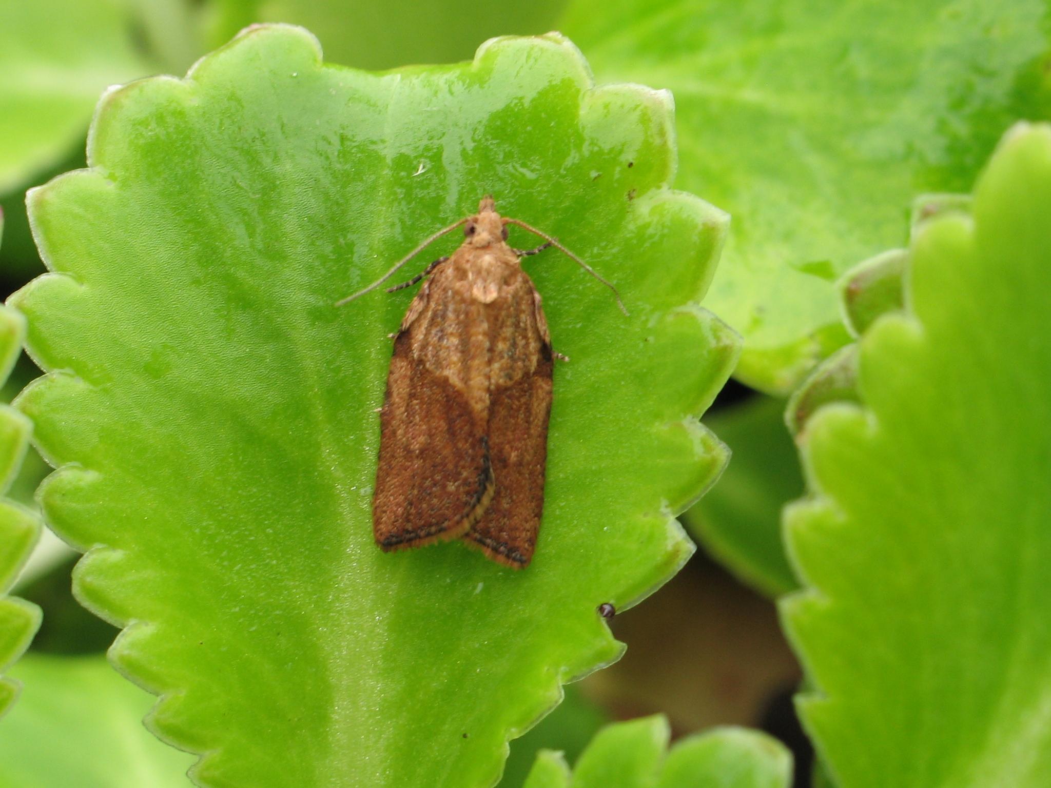 Light Brown Apple Moth Epiphyas postvittana, Mark Parsons