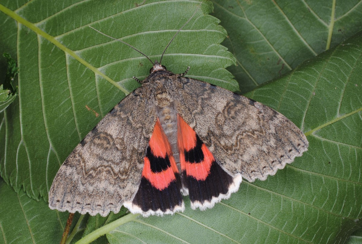 Red Underwing, Catocala nupta, Barry Dickerson