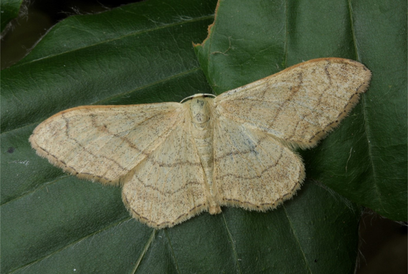 Riband Wave Idaea aversata, David Green