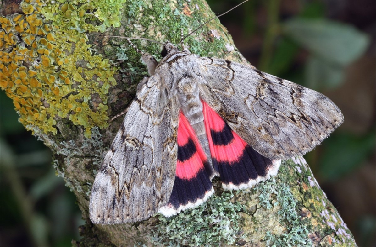 Rosy Underwing, Catocala electa, Keith Tailby