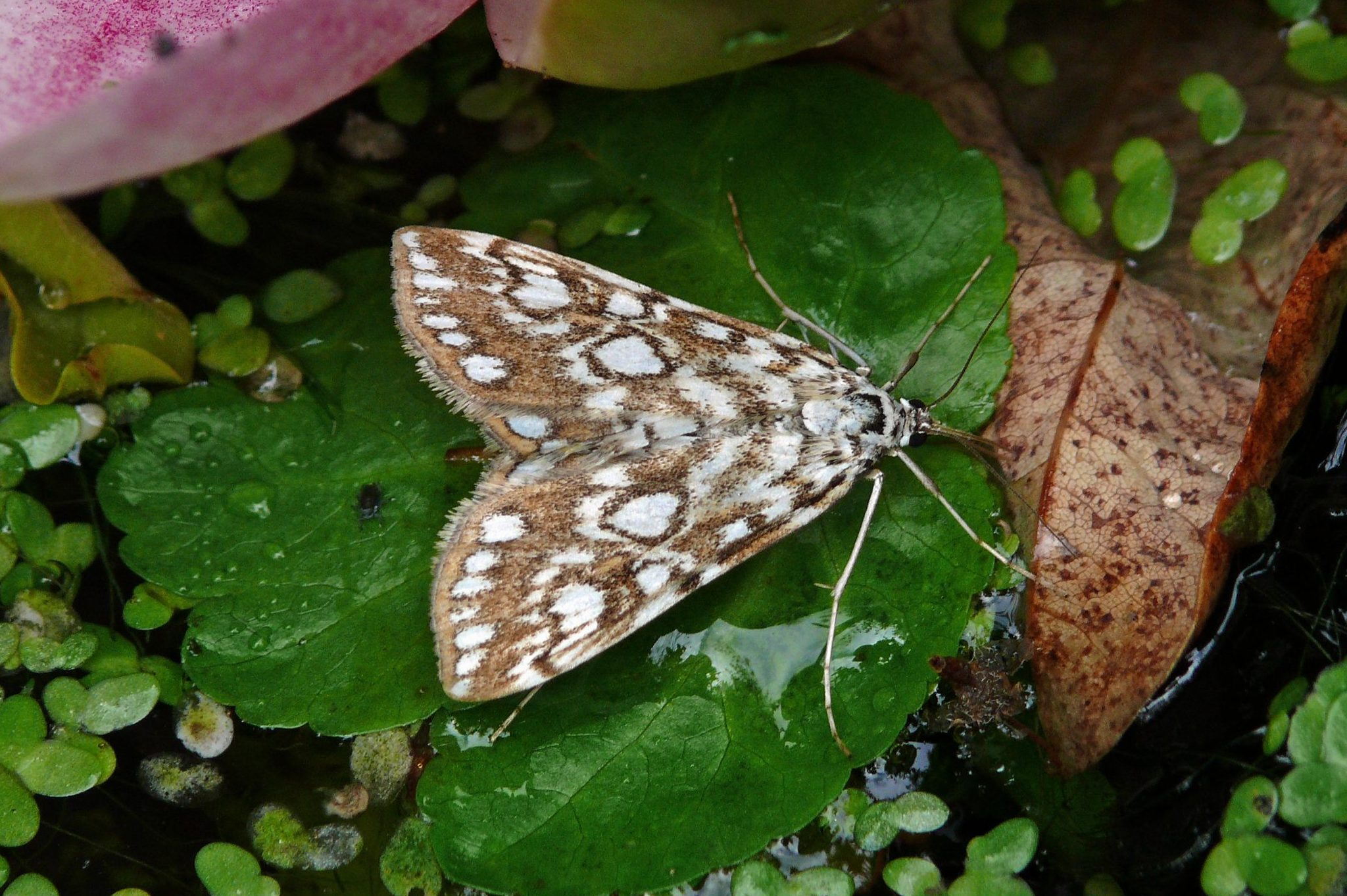 Brown China-Mark Elophila nymphaeata  Patrick Clement