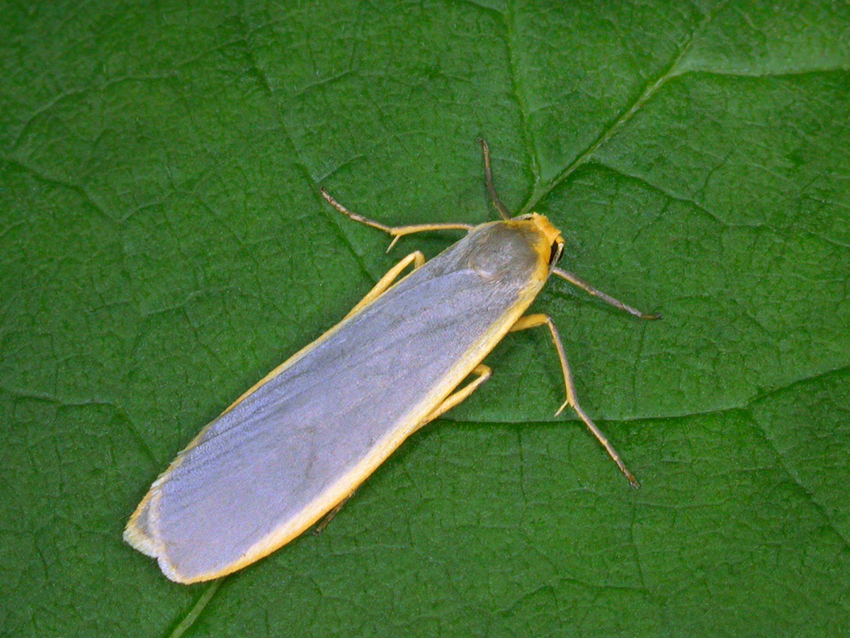 Common Footman Eilema lurideola, Keith Tailby