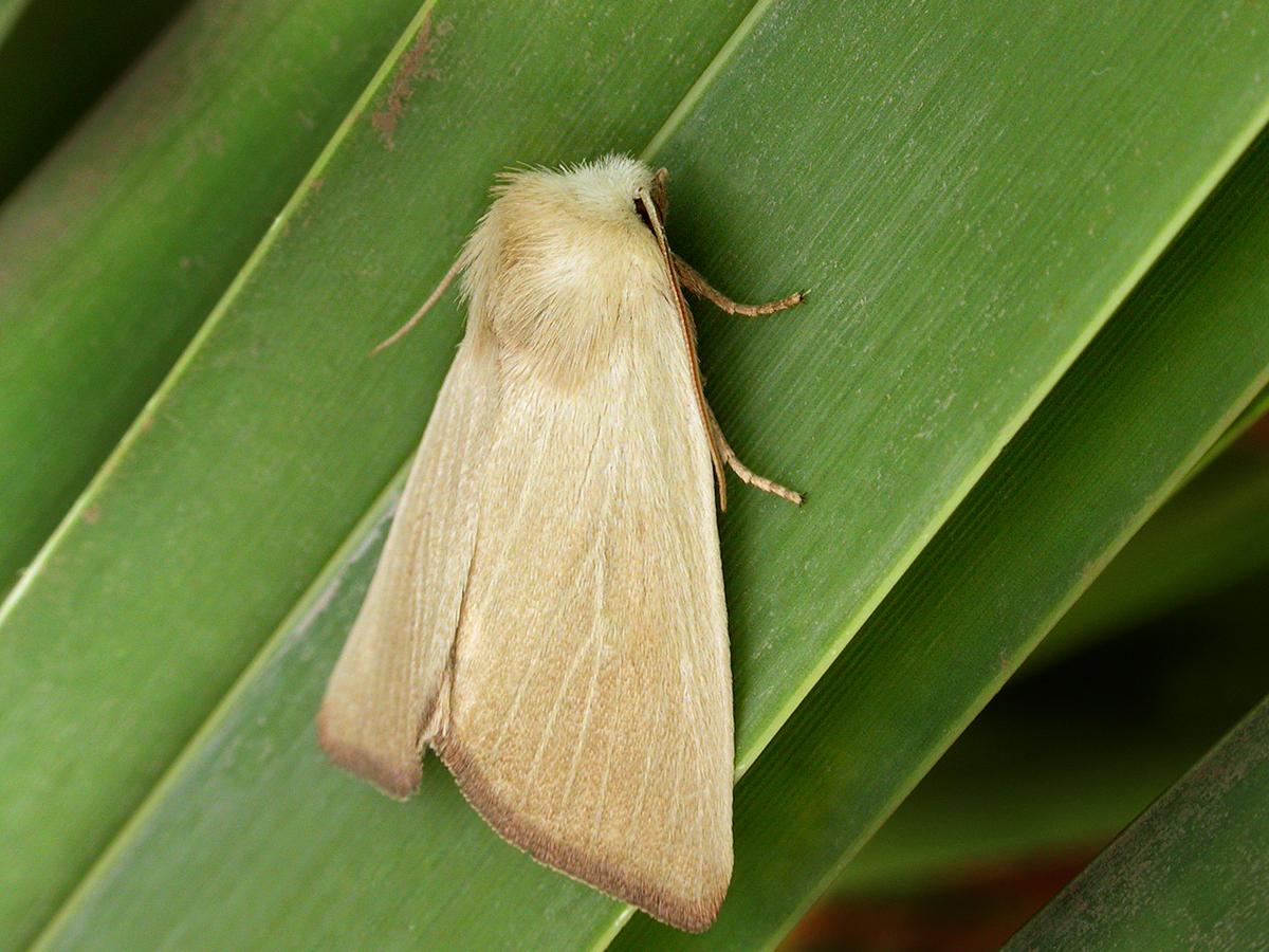 Fen Wainscott, Arenostola phragmitidis, Keith Tailby