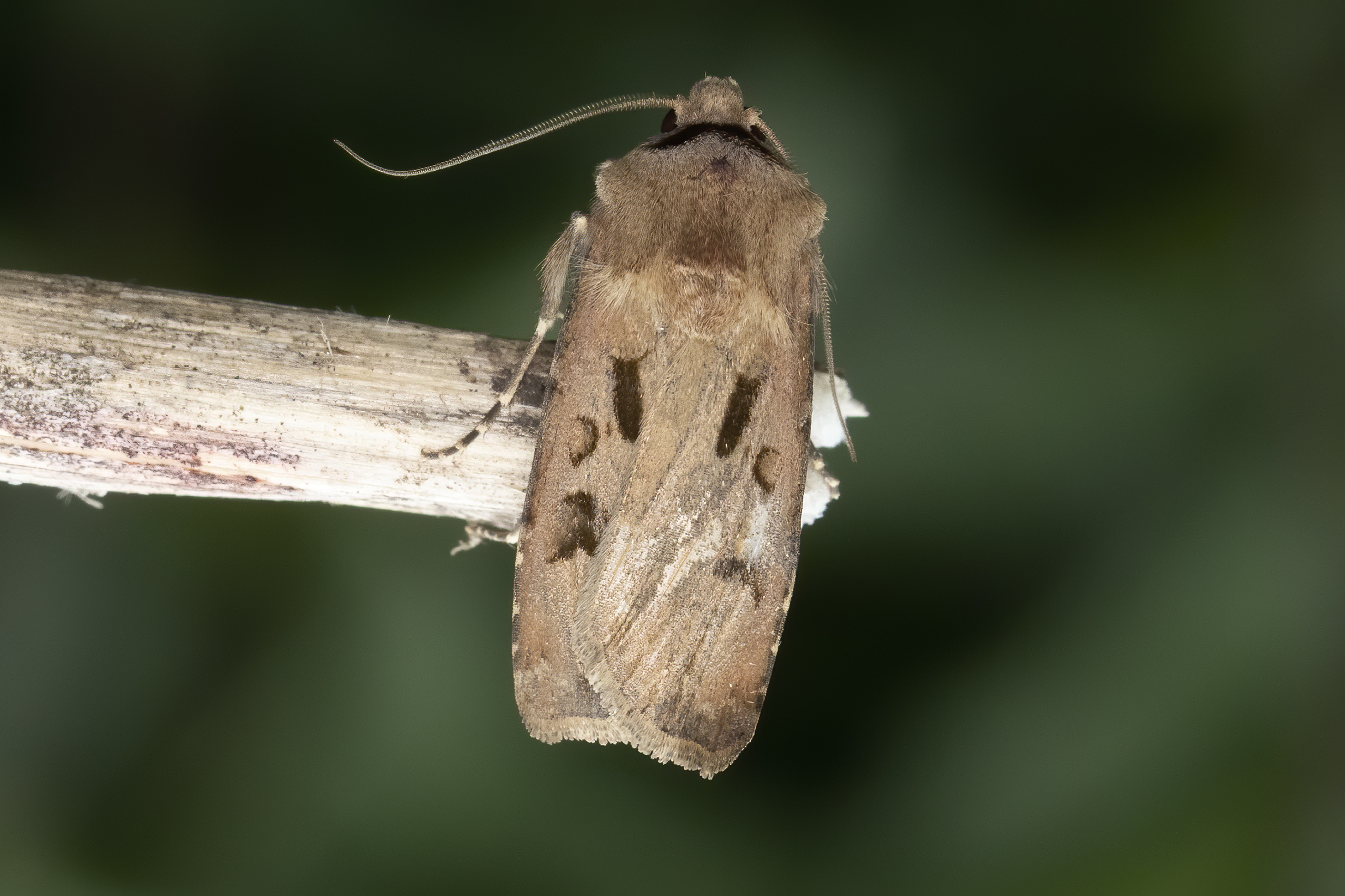 Heart and Dart Agrotis exclamationis , Paul Hill