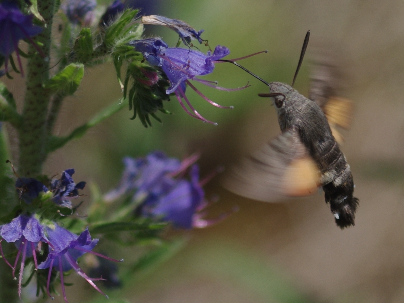 Hummingbird Hawkmoth© Paul Hill