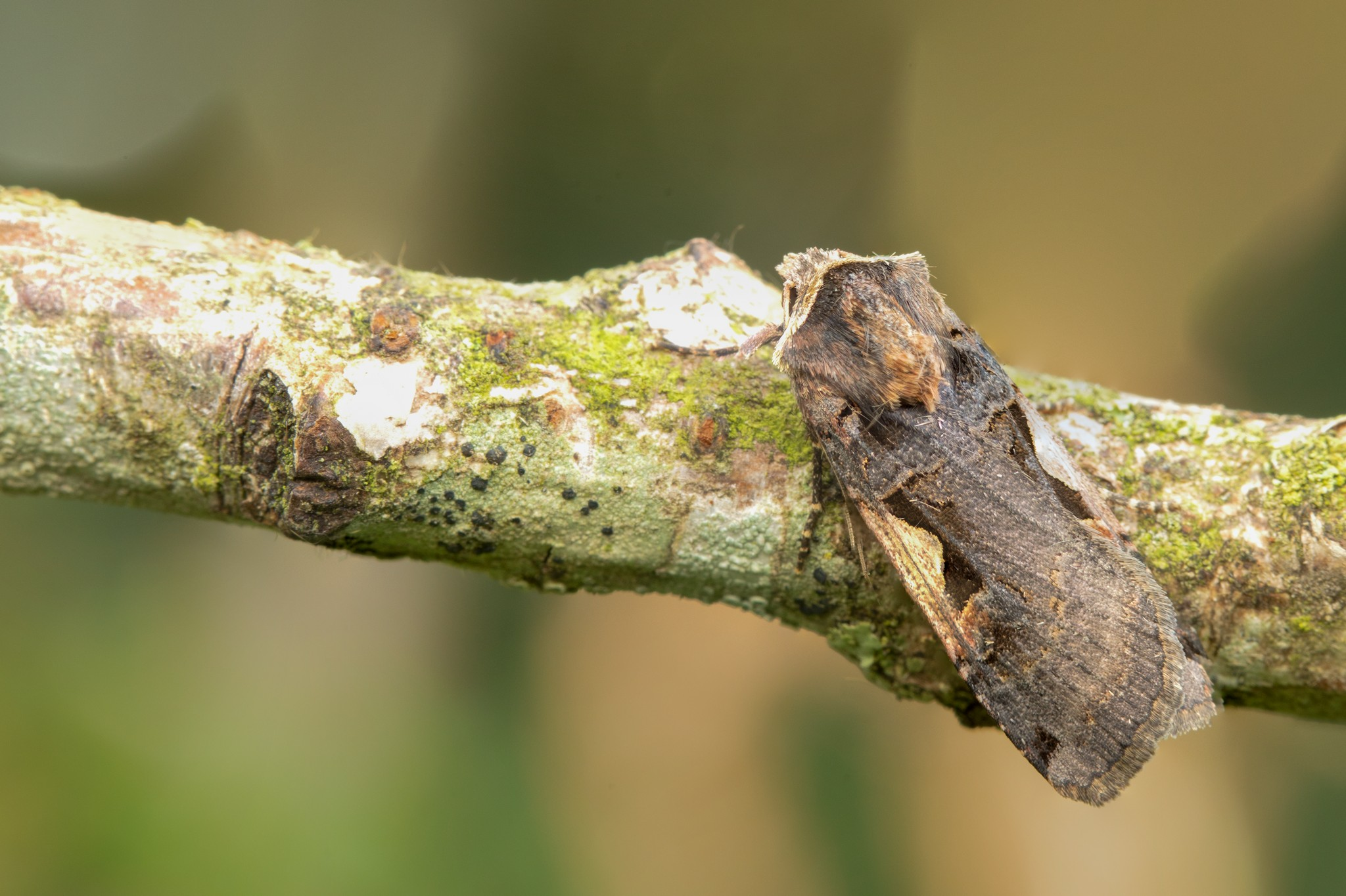 Setaceous Hebrew Character © Paul Hill