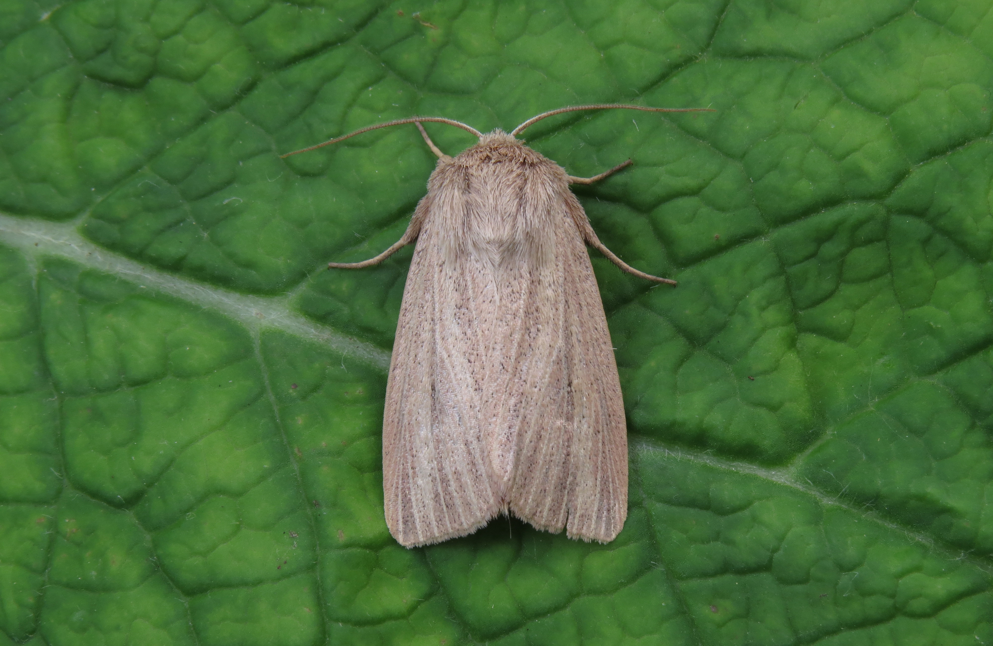 Striped Wainscot Mythimna pudorina, Nigel Jarman